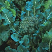 Broccoli Calabrese Di Cicco - Appx 2000 seeds